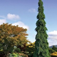 Picea glauca pendula photo courtesy of Iseli Nursery