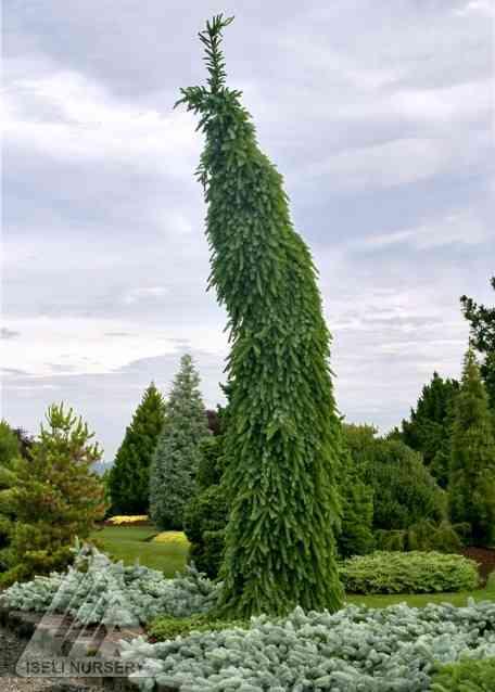 Picea omorika 'Pendula Bruns' photo courtesy of Iseli Nursery