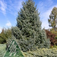 Picea omorika 'Silberblue ' photo courtesy of Iseli Nursery
