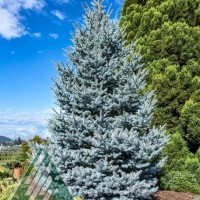 Picea abies 'Bonny Blue' photo courtesy of Iseli Nursery