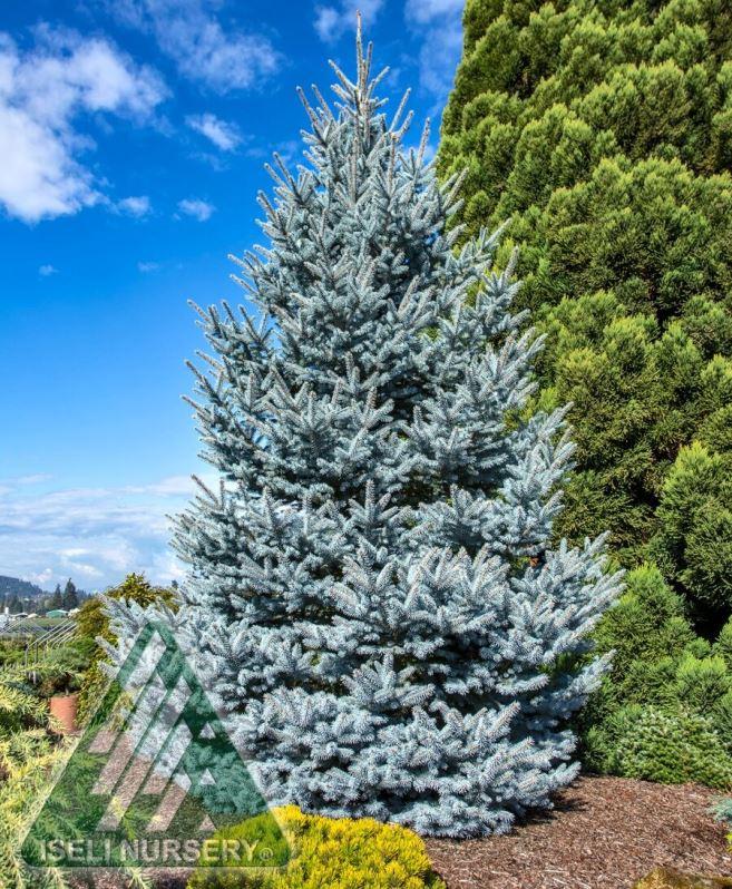 Picea abies 'Bonny Blue' photo courtesy of Iseli Nursery