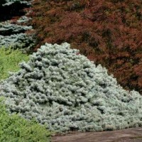 Picea pungens 'Lundeby's Dwarf' photo courtesy of Iseli Nursery