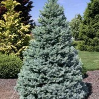 Picea pungens 'Sester Dwarf' photo courtesy of Iseli Nursery
