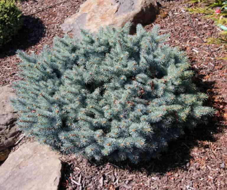 Picea pungens 'St Mary's Broom' Photo Suzanne Patry at Iseli Nursery