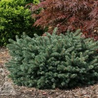 Picea pungens 'Waldbrunn' photo courtesy of Iseli Nursery