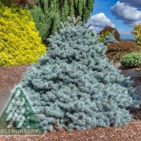 Picea pungens 'Zafiro' photo courtesy of Walters Gardens