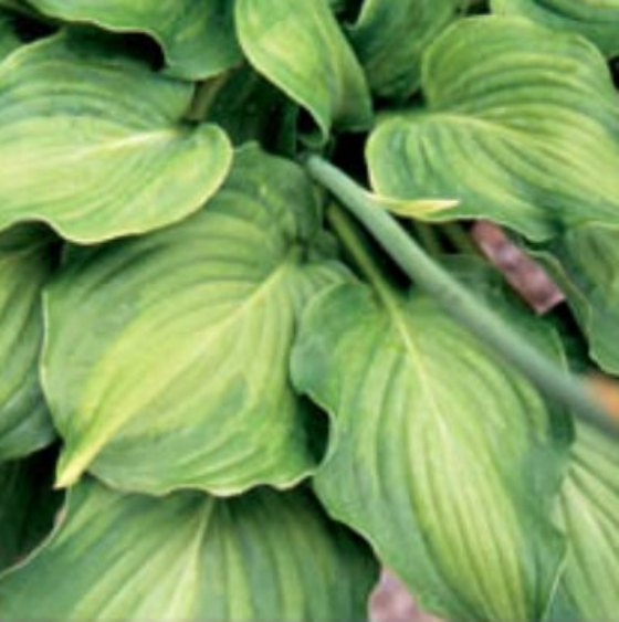 Hosta 'Piecrust Promise' Photo courtesy of Q and Z Nursery
