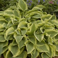 Hosta 'Pilgrim' photo courtesy of Walters Gardens