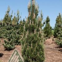 Pinus nigra 'Komet' photo courtesy of Iseli Nursery