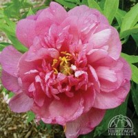 Peony 'Pink Double Dandy' photo courtesy of Valleybrook Gardens