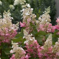 Hydrangea 'Pinky Winky' photo courtesy of Proven Winners