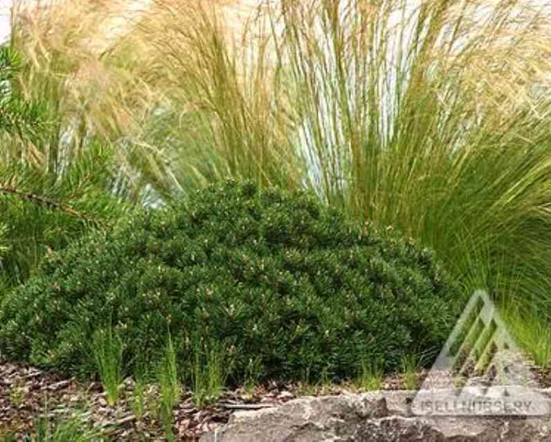 Pinus mugo 'Mitsch Mini' photo courtesy of Iseli Nursery