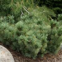 Pinus pumila Blue Dwarf