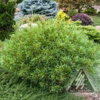 Pinus strobus 'Mini Twists' photo courtesy of Iseli Nursery