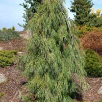 Pinus strobus 'Angel Falls' photo courtesy of Iseli Nursery