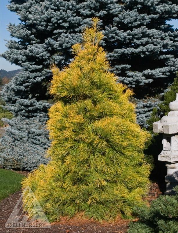 Pinus strobus 'Louie' photo courtesy of Iseli Nursery