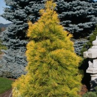 Pinus strobus 'Louie' photo courtesy of Iseli Nursery