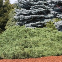 Pinus sylvestris 'Hillside Creeper' photo courtesy of Iseli Nursery