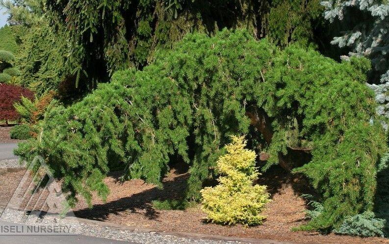 Pinus banksiana 'Uncle Fogy' photo courtesy of Iseli Nursery