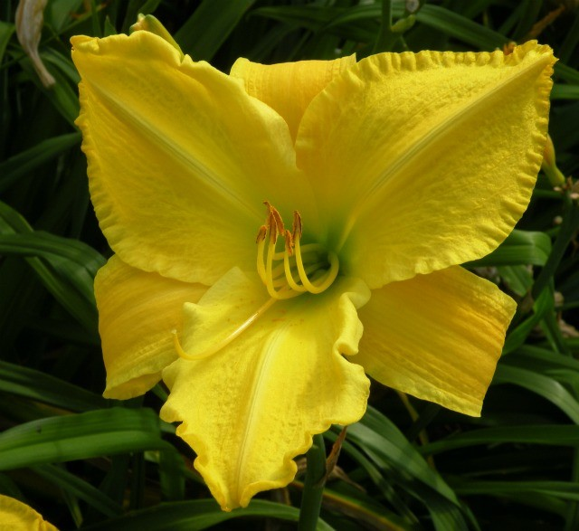 Daylily 'Pittsburg Golden Triangle' photo Whitehouse Perennials Nursery and Display Gardens