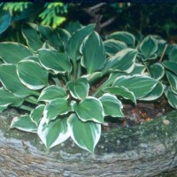 Hosta 'Pixie Vamp' photo courtesy of Green Hill Hostas