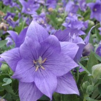 Platycodon Astra Double Blue photo courtesy of Walters Gardens