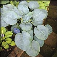 Hosta 'Poweder Blue' photo courtesy of Q and Z Nursery