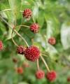 proven_winners_cephalanthus_sugar_shack_buttonbus.jpg