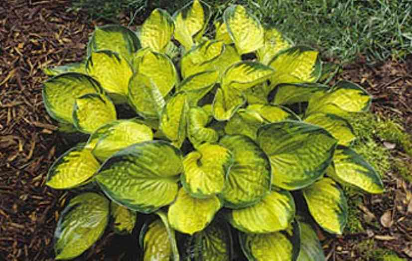 Hosta 'Rainforest Sunrise' Photo courtesy of Walters Gardens