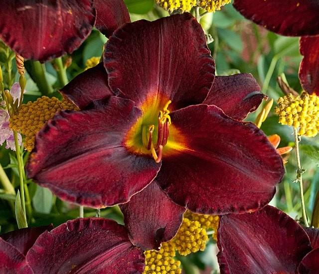 Daylily 'Raspberry Suede'   Photo courtesy of Walters Gardens