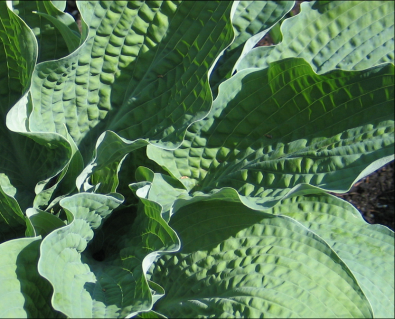 photo of Hosta 'Racous Ruffles' courtesy of Naylor Creek Nursery