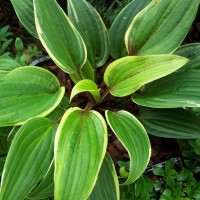 Hosta 'Red Alert' photo courtesy of Walters Gardens