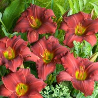 Daylily 'Red Razzmatazz' photo courtesy of Walters Gardens
