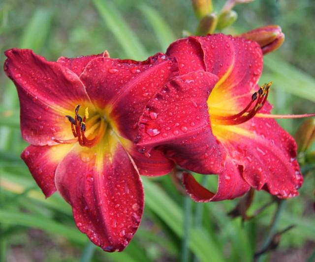 Daylilly 'Red Regatta' photo Whitehouse Perennials Nursery and Display Gardens