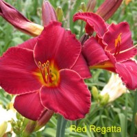 Daylilly 'Red Regatta' photo Whitehouse Perennials Nursery and Display Gardens