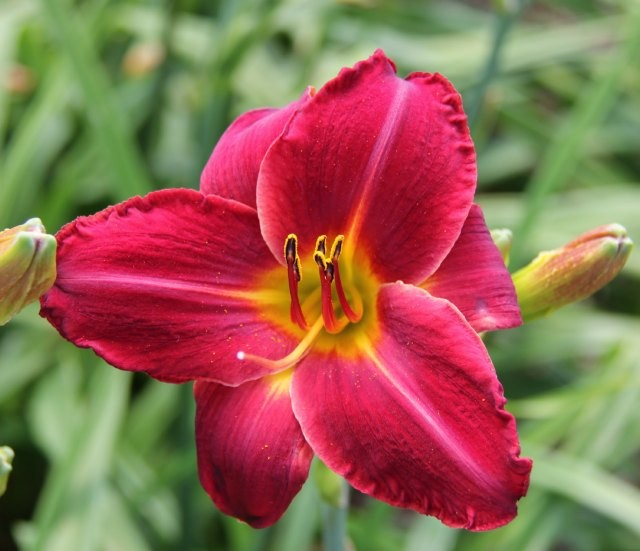 Daylily 'Red Square' photo Whitehouse Perennials Nursery and Display Gardens