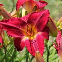 Daylily 'Red Volunteer' photo Whitehouse Perennials