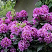 Rhododendron 'Dandy Man Purple' photo courtesy of Spring Meadow Nursery