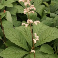 Rodgersia 'Hercules' photo courtesy of Paridon Horticultural