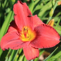 Daylily 'Roll Tide' photo Whitehouse Perennials Nursery and Display Gardens