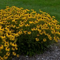 Rudbeckia 'American Goldrush' photo courtesy of Walters Gardens