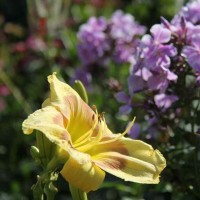 Daylily 'Russian Easter' photo Whitehouse Perennials Nursery and Display Gardens