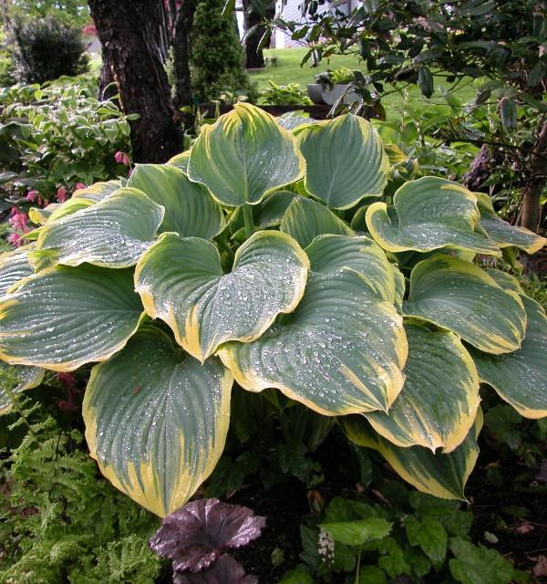 Hosta 'Sagae' Photo courtesy of Walters Gardens