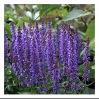 Salvia 'Sensation Deep Blue'  photo Growing Colours