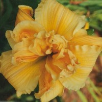 Daylily 'Savannah Debutante' photo Whitehouse Perennials Nursery and Display Gardens
