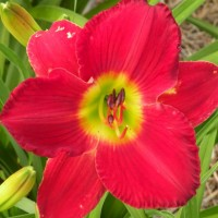 Daylily 'Scarlet Orbit' photo Whitehouse Perennials Nursery and Display Gardens