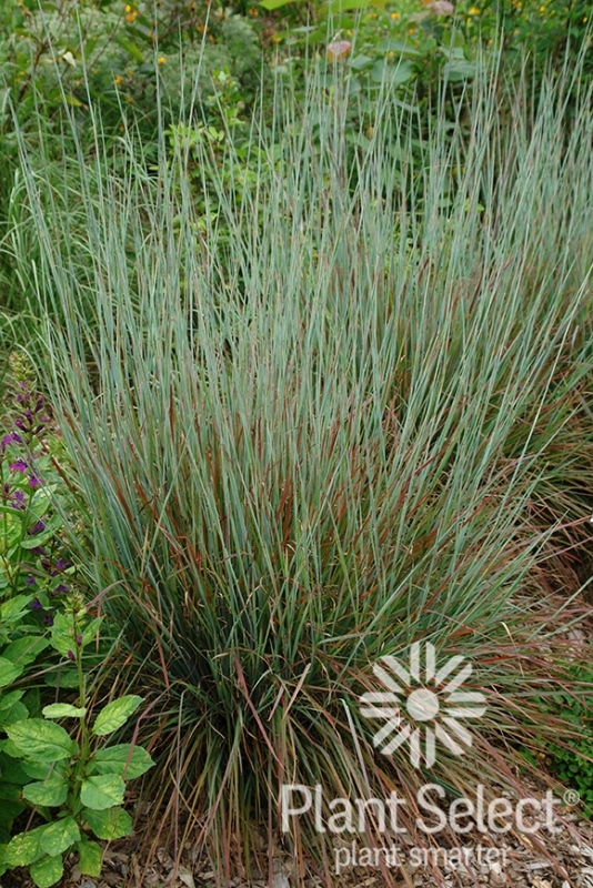 Schizachrium 'Standing Ovation' photo courtesy of Plant Select