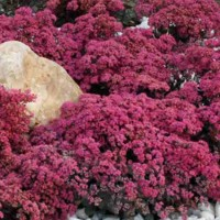 Sedum Dazzleberry' photo courtesy of Chris Hansen