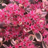 Sedum 'Dream Dazzle' from Growing Colours