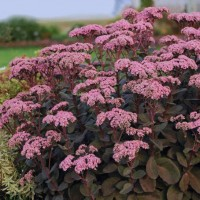 Sedum spectabile 'Maestro' photo courtesy of Walters Gardens
